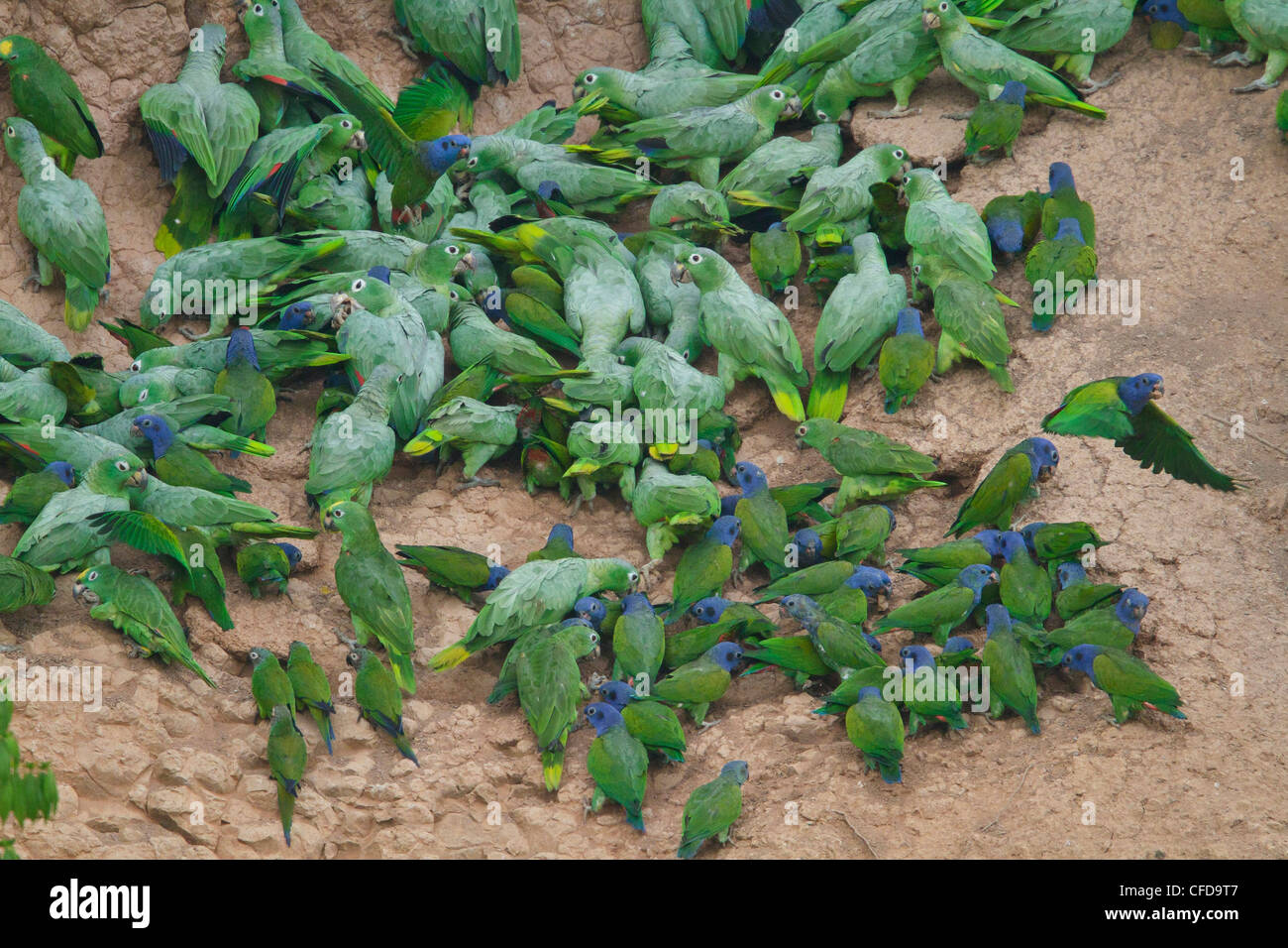 Blue-headed Parrot (Pionus menstruus) feeding at a clay lick in Amazonian Ecuador. - Stock Image