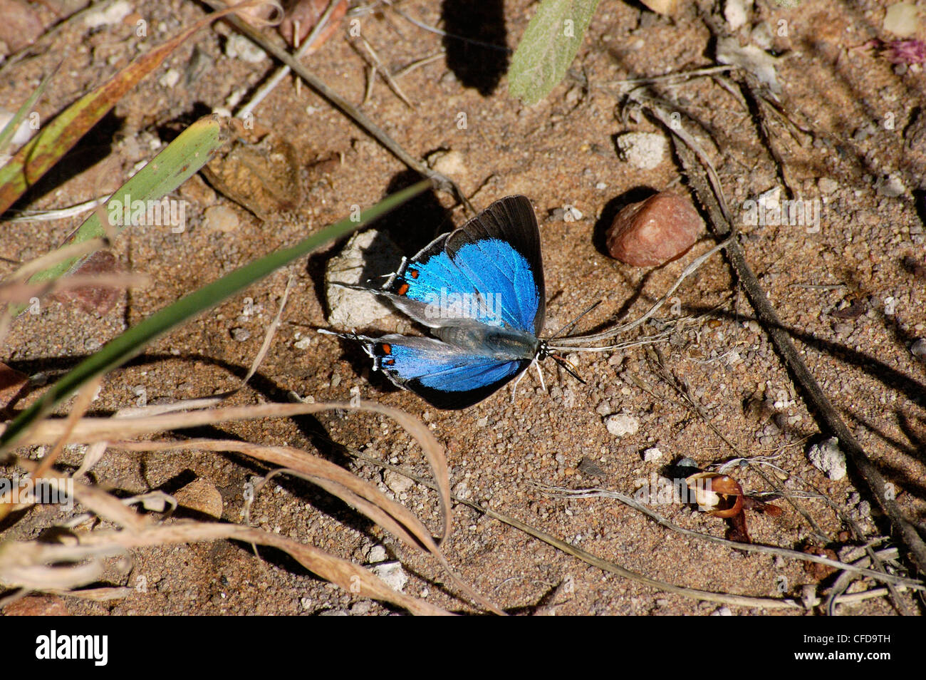 Southern sapphire butterfly (Iolaus silas; Lycaenidae) puddling on muddy ground, South Africa. - Stock Image