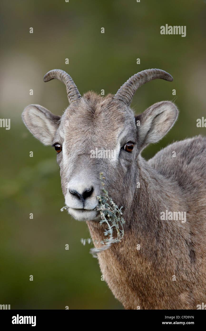 Bighorn sheep (Ovis canadensis) ewe eating, Jasper National Park, Alberta, Canada, - Stock Image