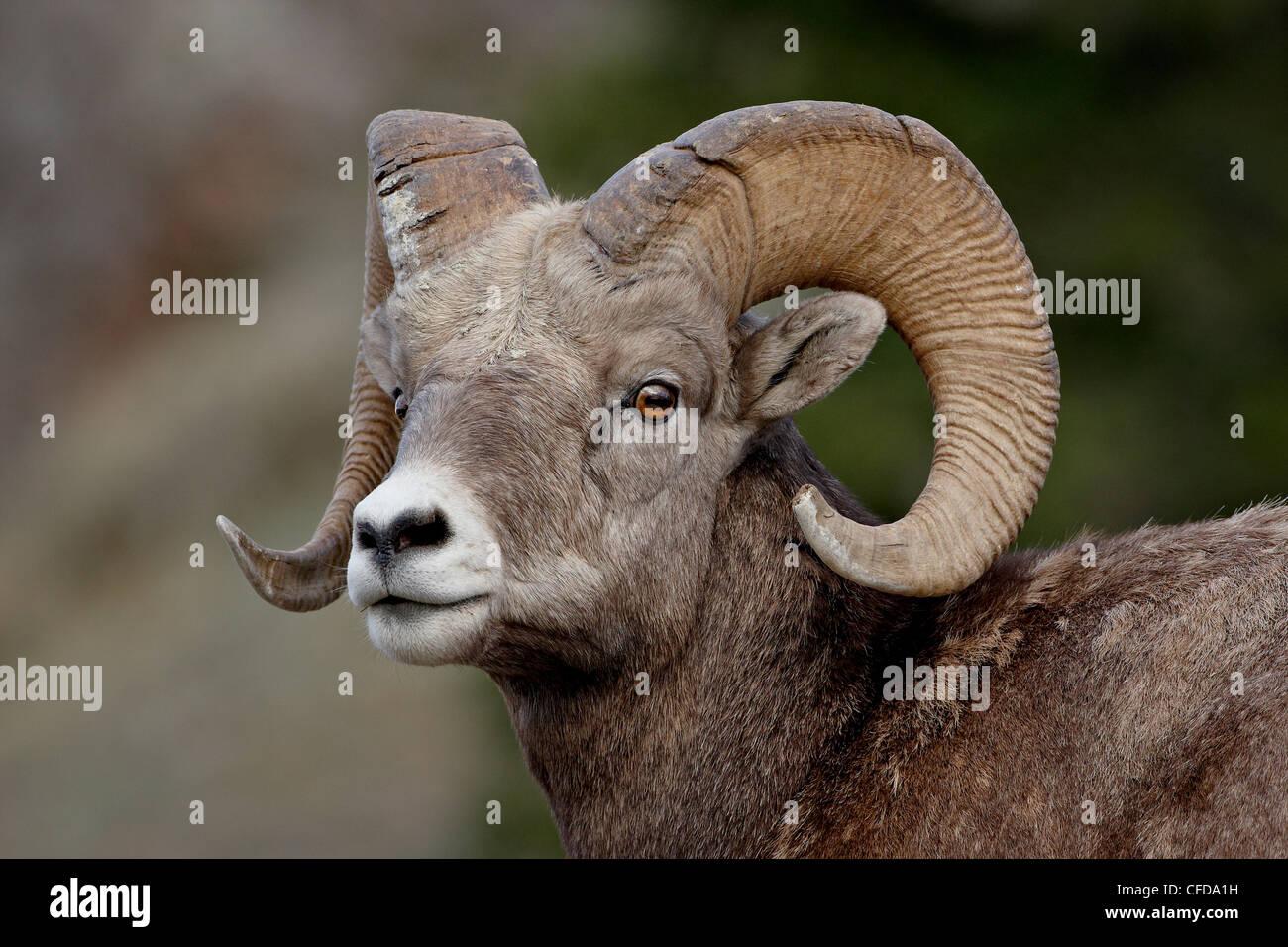 Bighorn sheep (Ovis canadensis) ram, Jasper National Park, Alberta, Canada, - Stock Image