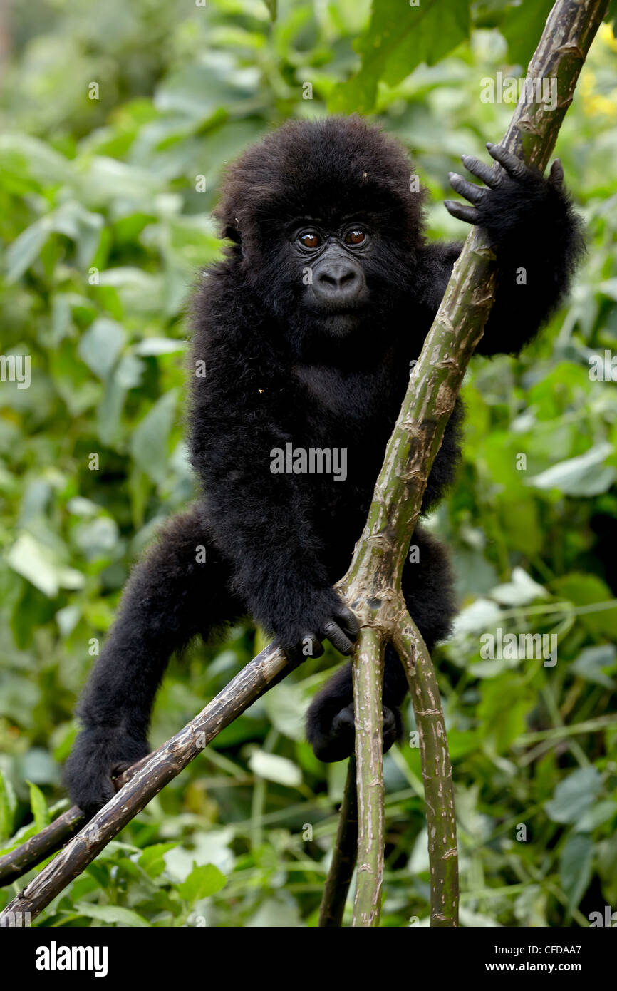 Infant mountain gorilla (Gorilla gorilla beringei) from the Kwitonda group climbing a vine, Volcanoes National Park, - Stock Image
