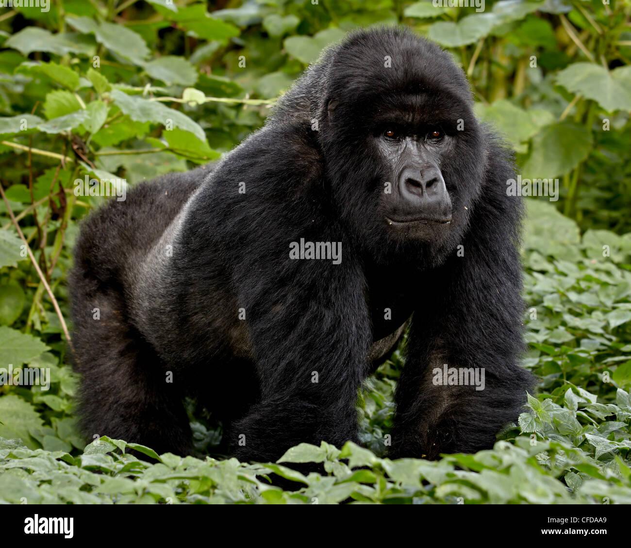 Mountain gorilla (Gorilla gorilla beringei) silverback of the Umubano group named Charles, Volcanoes National Park, Stock Photo