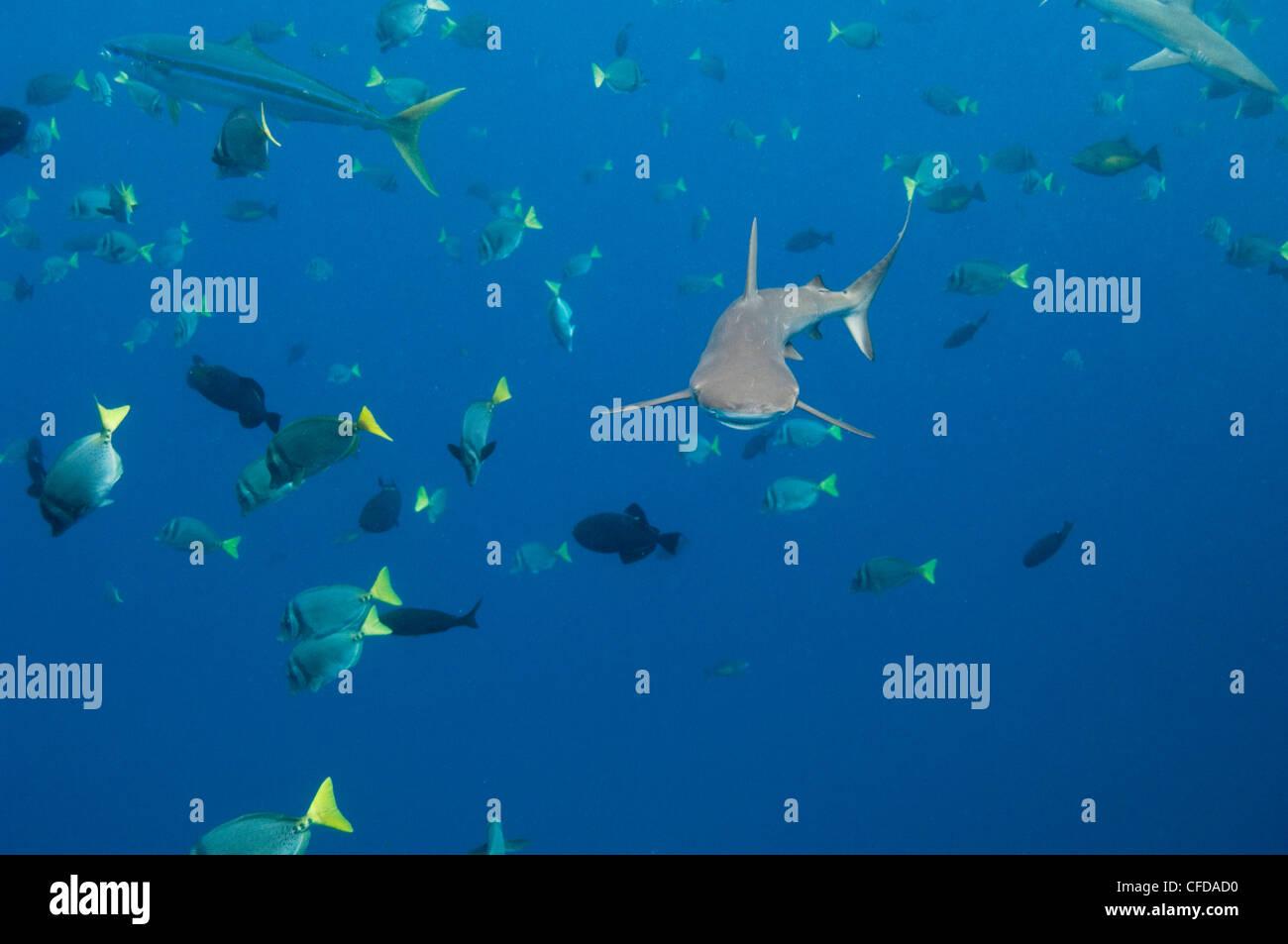Galapagos Shark off of Wolf Island, Galapagos Islands, Ecuador, South America. - Stock Image