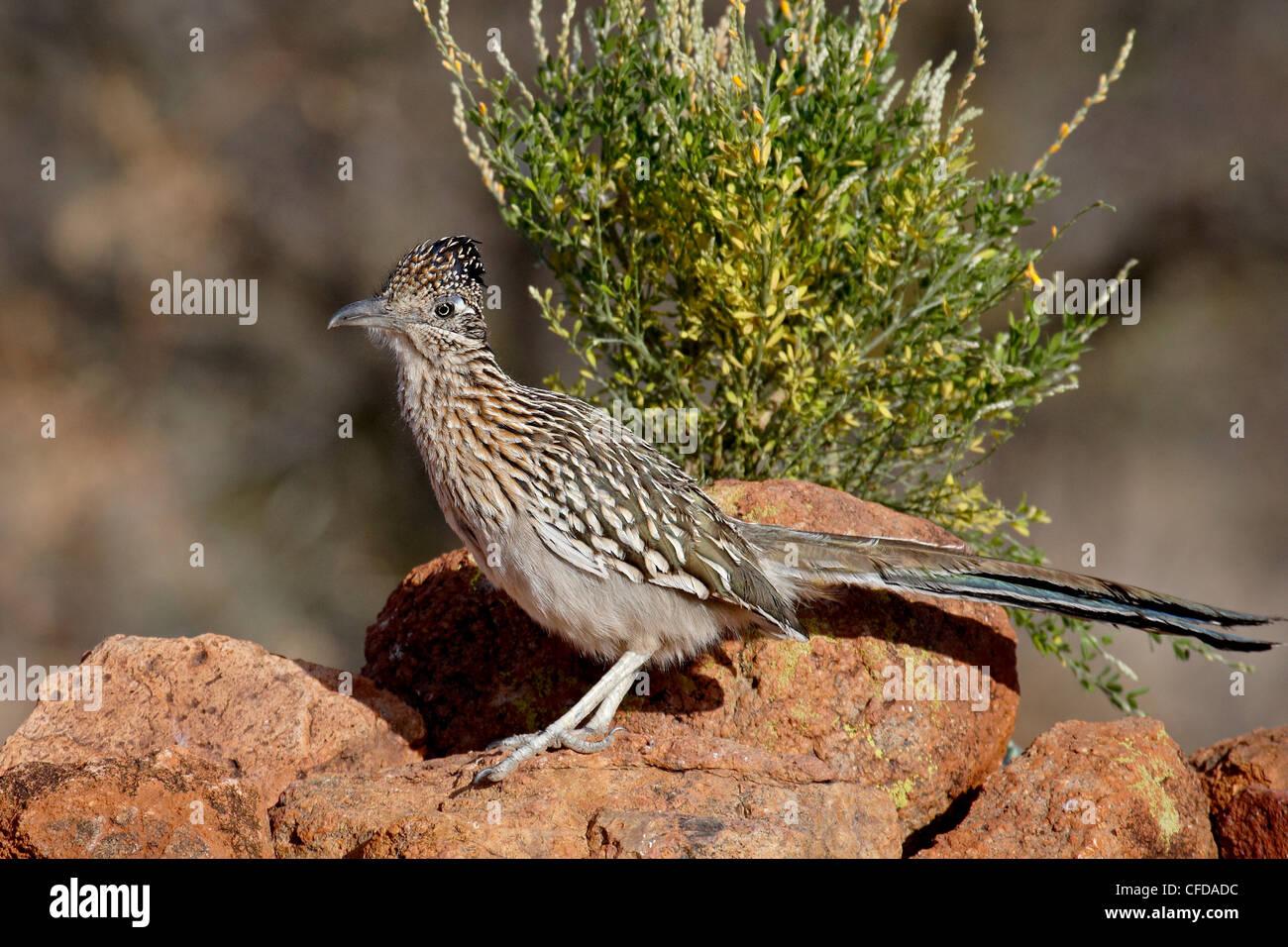 Greater roadrunner (Geococcyx californianus), The Pond, Amado, Arizona, United States of America, - Stock Image