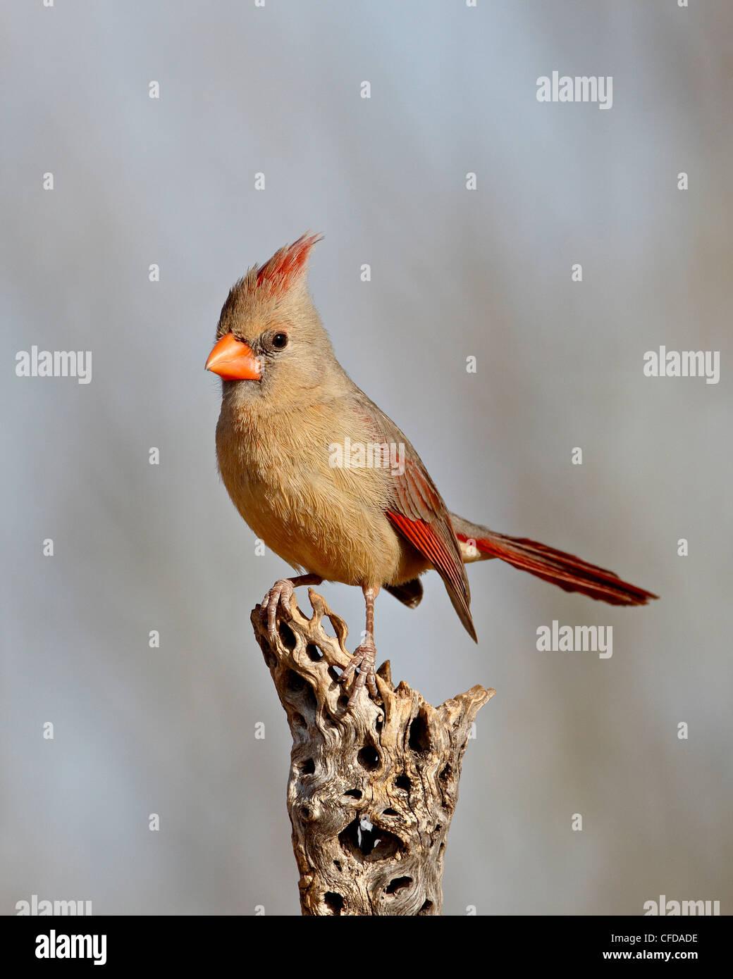 Female northern cardinal (Cardinalis cardinalis), The Pond, Amado, Arizona, United States of America, Stock Photo