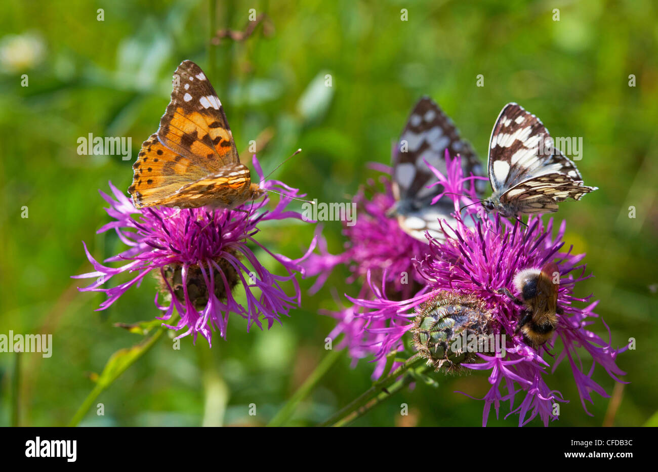 Flower with butterfly near Rust in the Taubergiessen, Spring, Breisgau, Ortenau, Baden Wuerttemberg, Germany, Europe - Stock Image