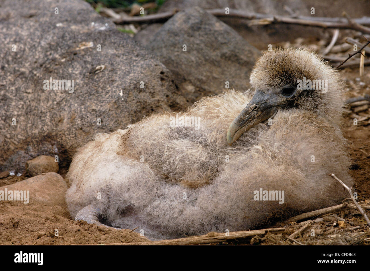 Waved Albatross chick, Galapagos Islands, Ecuador, South America. (critically endangered) - Stock Image