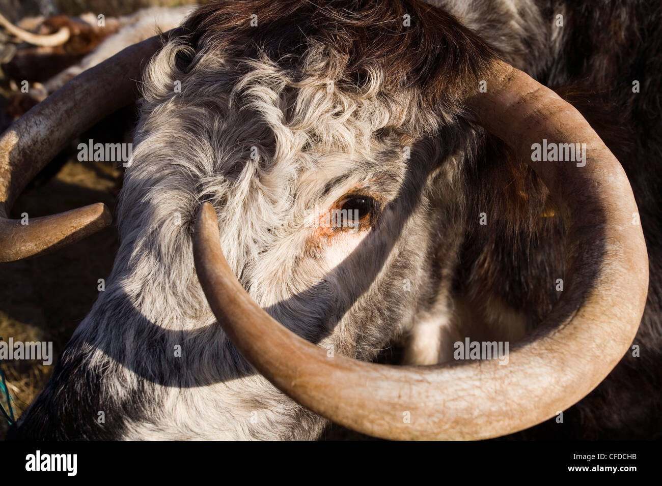 LONG HORNED COW - Stock Image