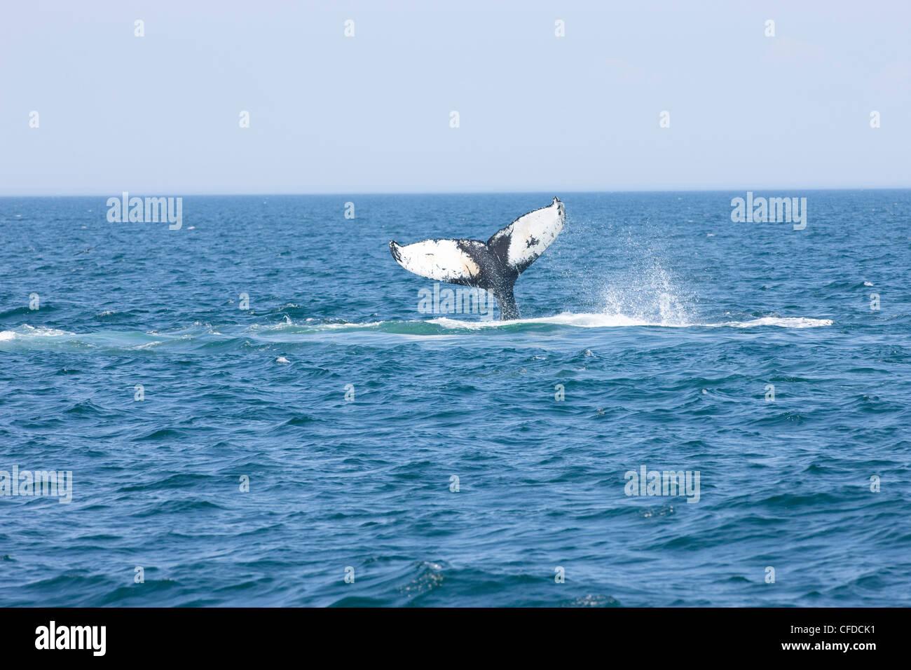 Humpback whale tail-slapping, (Megaptera novaeangliae) off Grand Manan Island, Bay of Fundy, New Brunswick, Canada Stock Photo