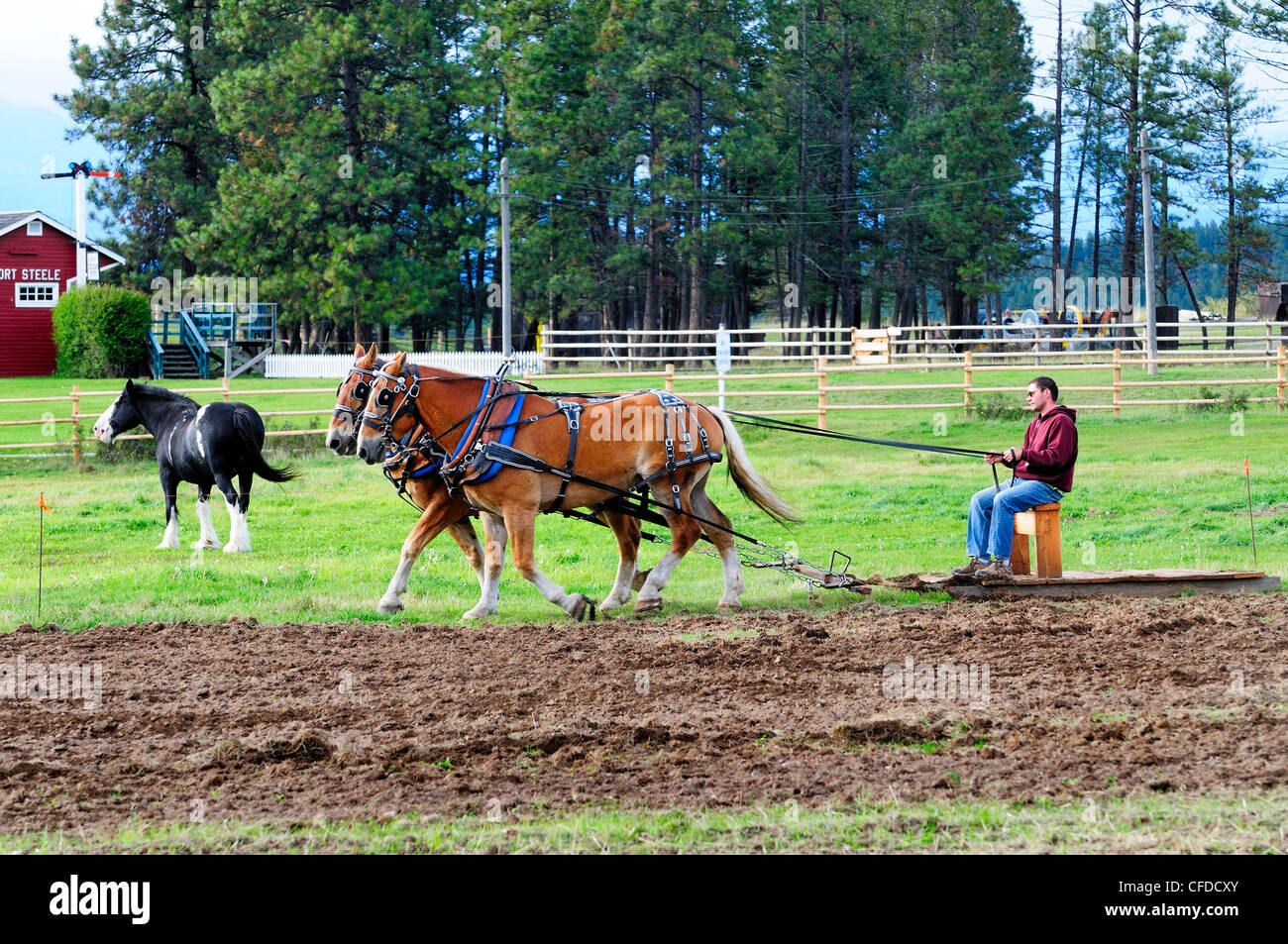 Man controls a team of Belgian horses as they plow a field at Fort Steele near Cranbrook, British Columbia, Canada - Stock Image