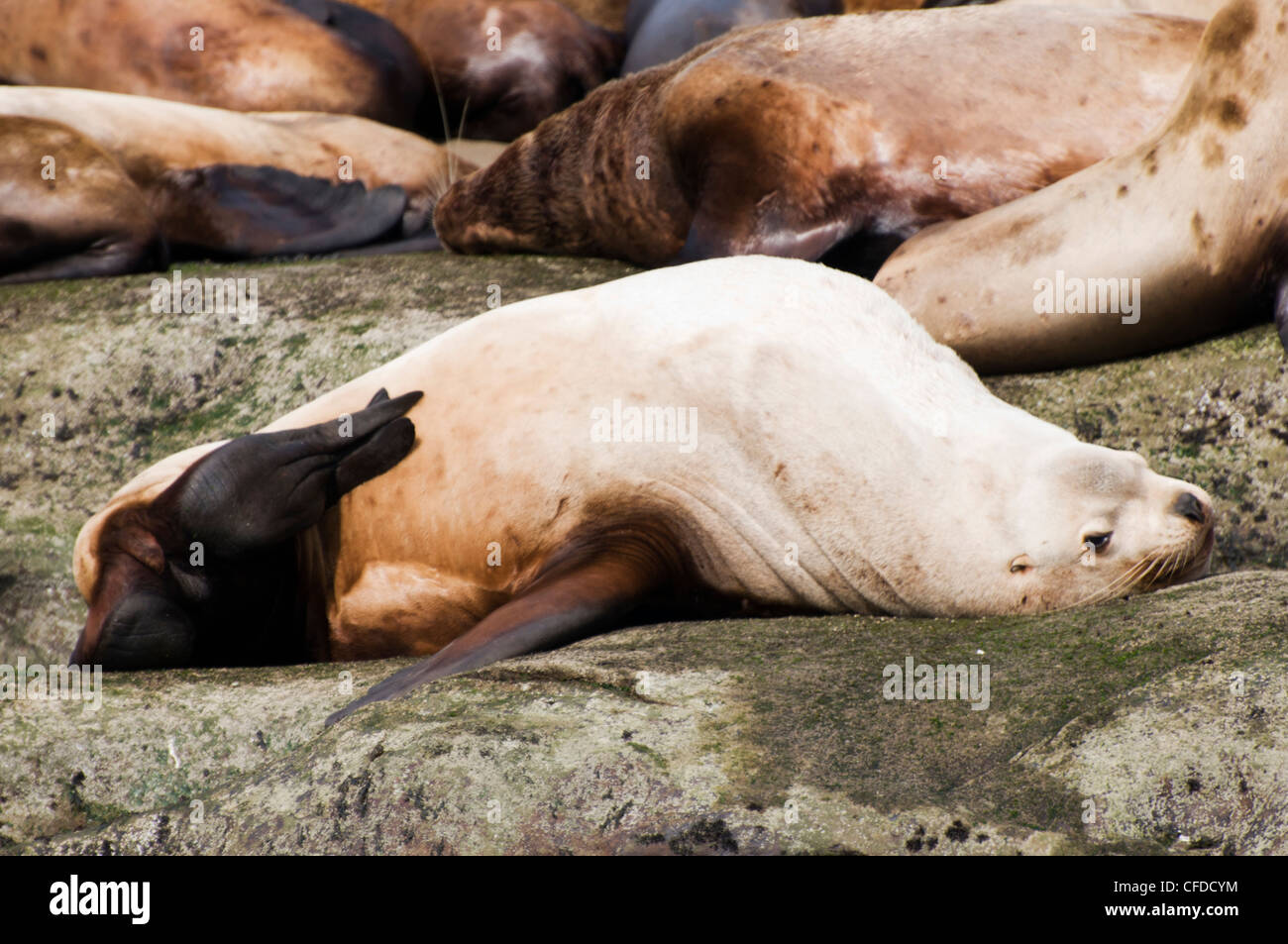 A sea lion scratches his belly on Norris Rock, British Columbia, Canada - Stock Image