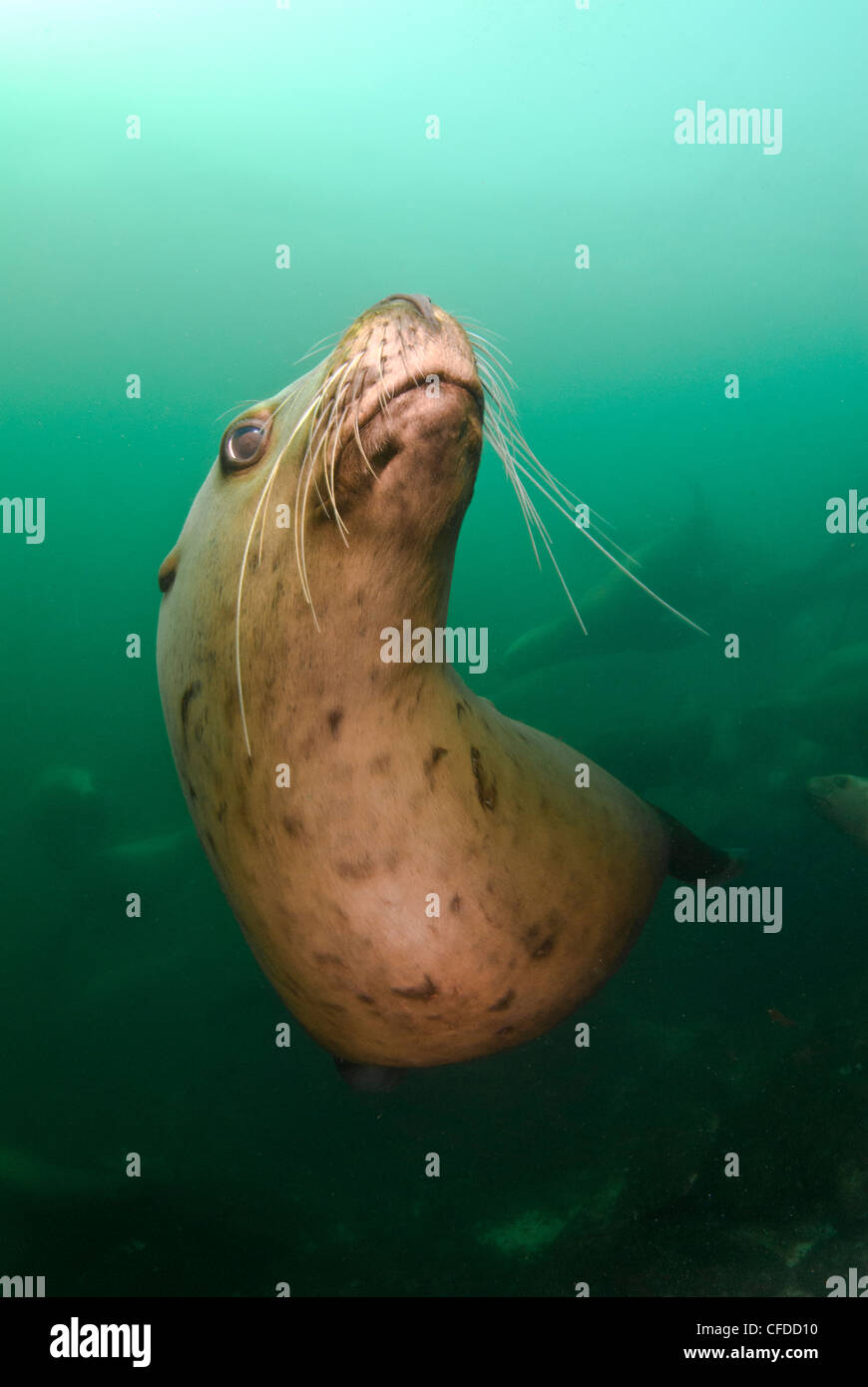 A playful sea lion underwater at Norris Rock, Hornby Island, British Columbia, Canada - Stock Image
