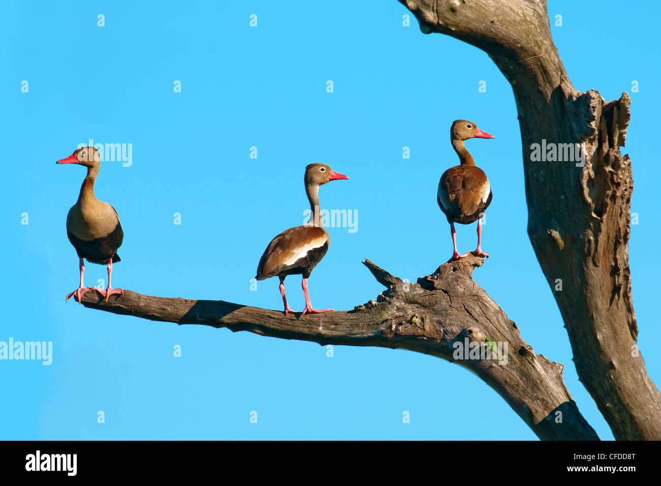 Black-bellied whistling ducks (Dendrocygna autumnalis), Pantanal wetlands, Southwestern Brazil, South America - Stock Image