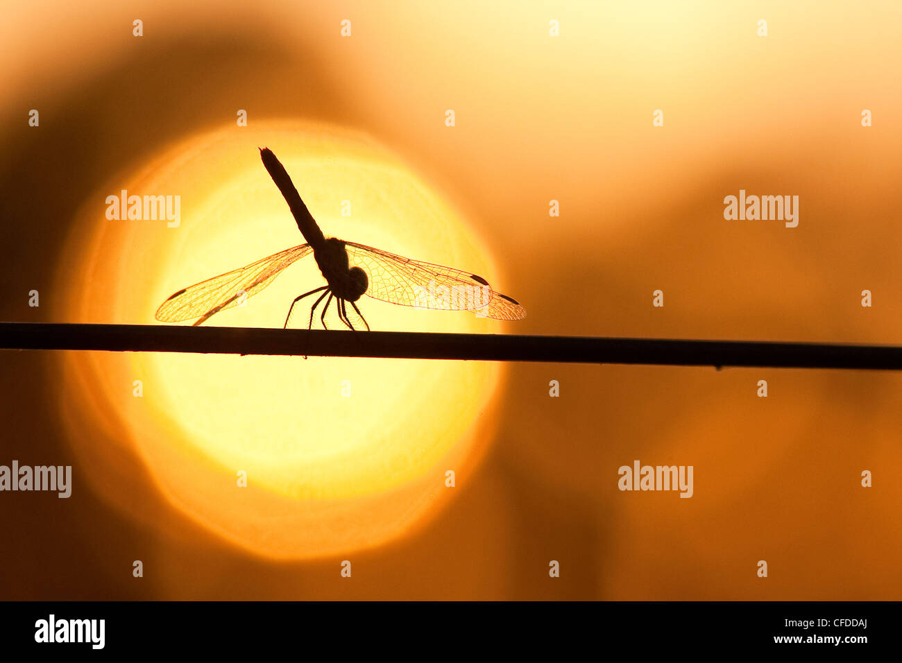 Dragonfly settling on a wire fence at sunset, Southwestern Brazil, South America - Stock Image