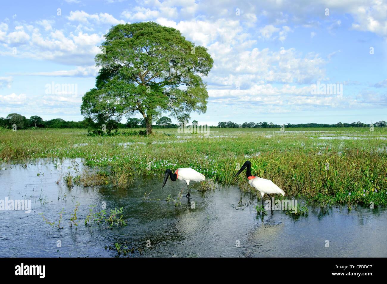 Adult jabiru stork (Jabiru mycteria), Pantanal wetlands, Southwestern Brazil, South America - Stock Image