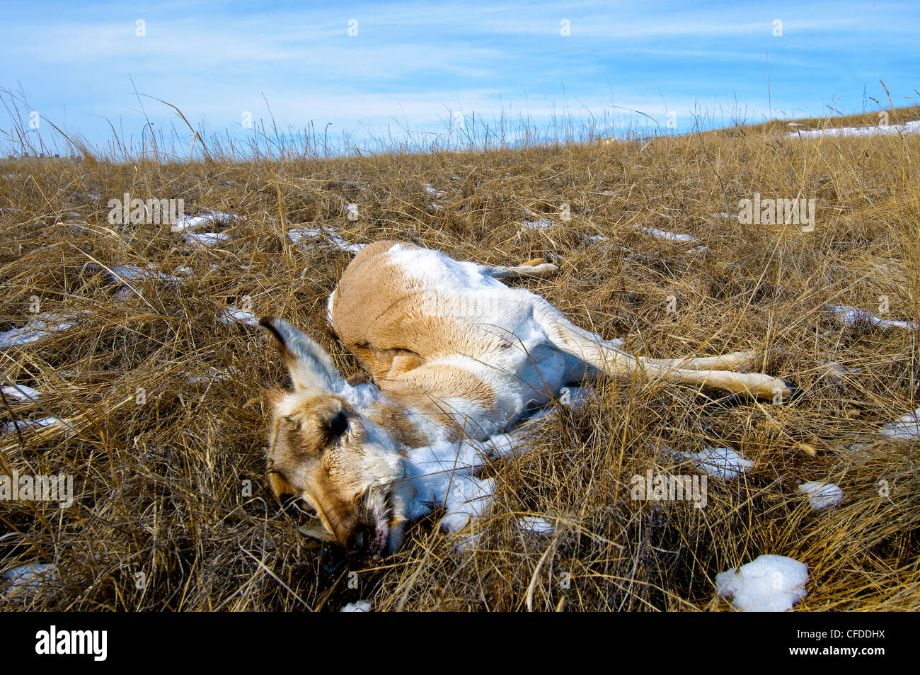 Pronghorn (Antilocapa americana) starvation mortality in late Winter, prairie Alberta, Western Canada - Stock Image