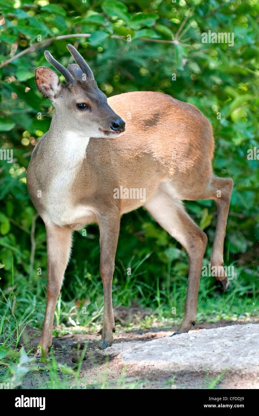 Red brocket deer (Mazama americana), Pantanal wetlands, Southwestern Brazil, South Amercia - Stock Image