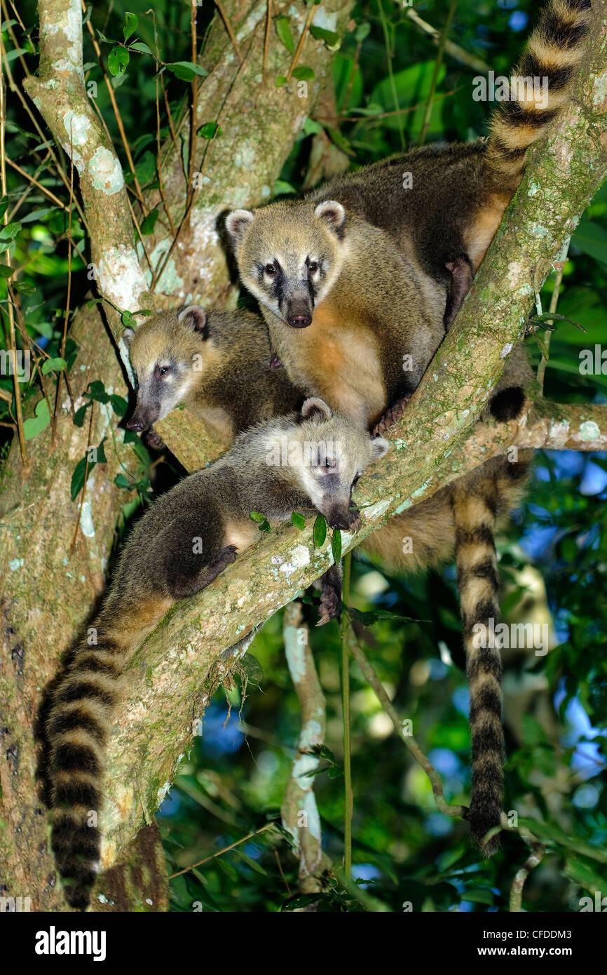 South American coati (Nasua nasua) foraging for grubs in the rotten wood of a tree stump, Iguazu Falls, Brazil South - Stock Image