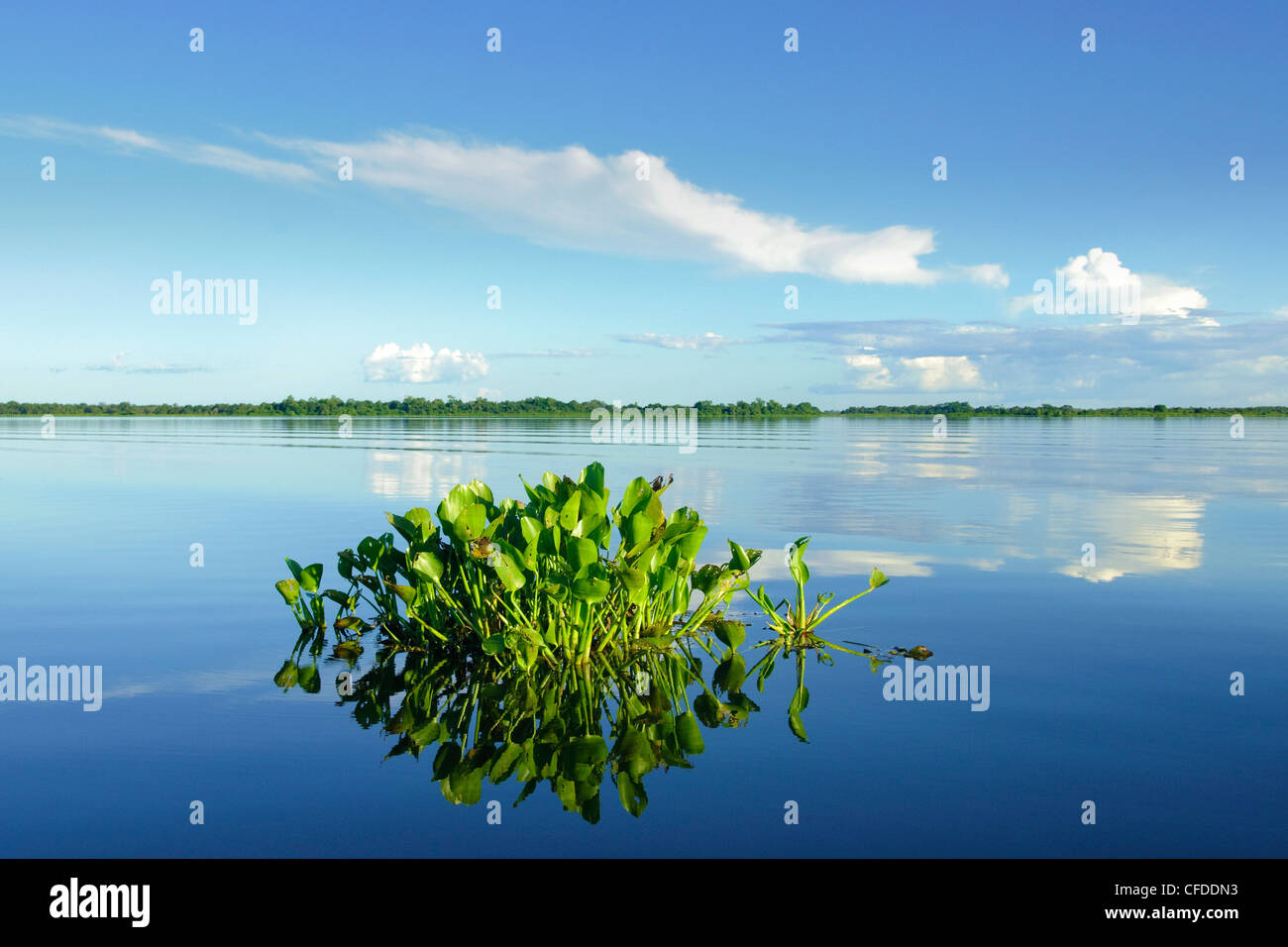Water hyacinth (Eichhornia crassipes), Pantanal wetlands, Southwestern Brazil, South America - Stock Image