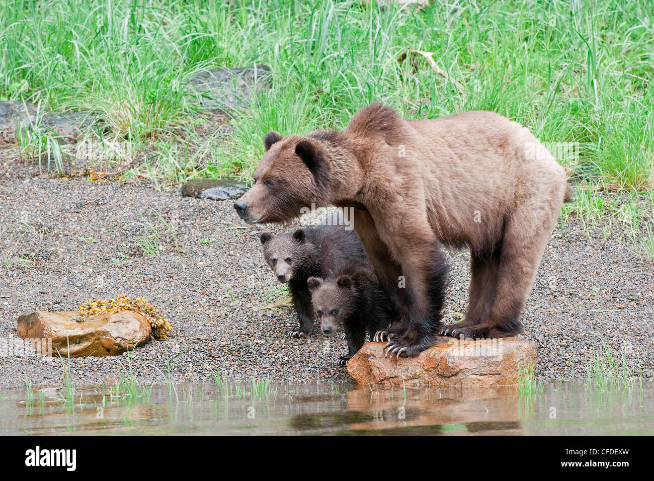 sow Grizzly ursus Arctos stands guard she two - Stock Image