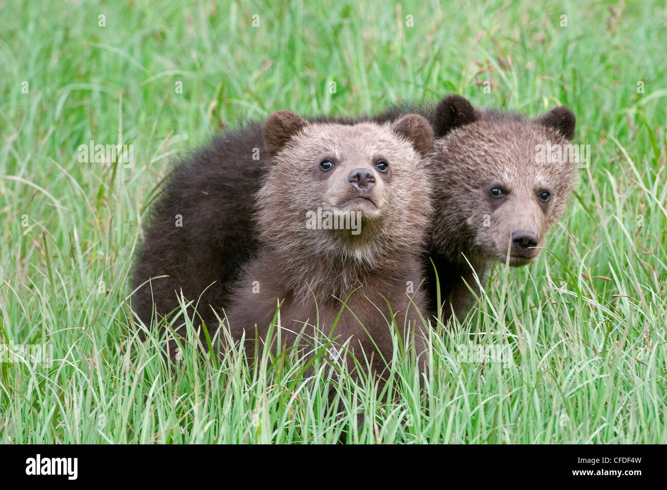 Grizzly bear twins ursus Arctos look curiousity - Stock Image