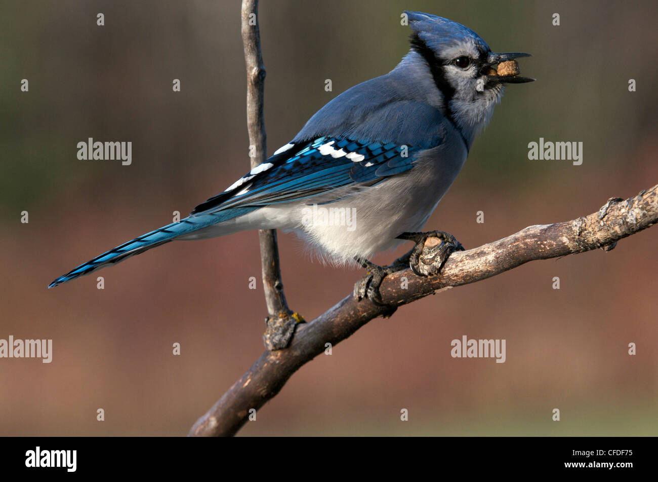 The Blue Jay Cyanocittcristata Passerine bird - Stock Image
