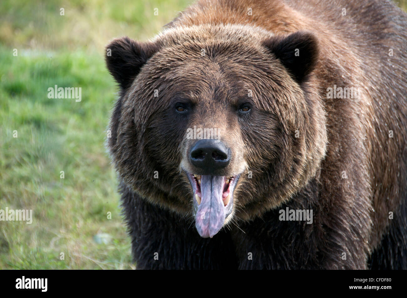 Close-up Grizzly Bear face looking viewer - Stock Image