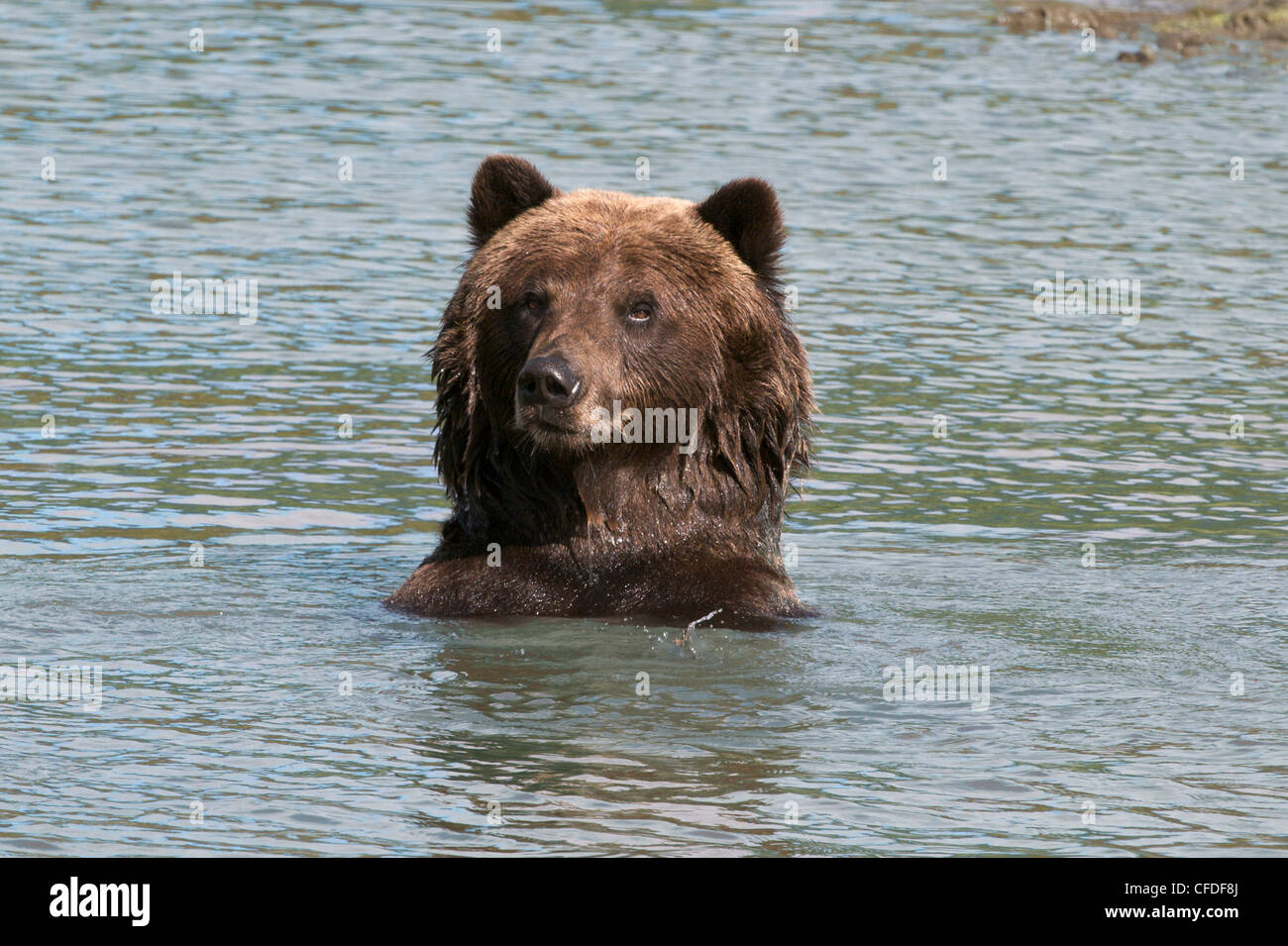 Grizzly bear its head body water-looking viewer; - Stock Image