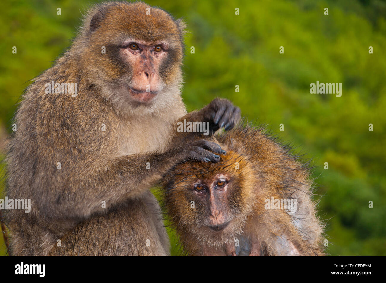 Barbary Macaques (Macaca sylvanus) grooming, Cap Carbon, Bejaia, Kabylia, Algeria, North Africa, Africa Stock Photo
