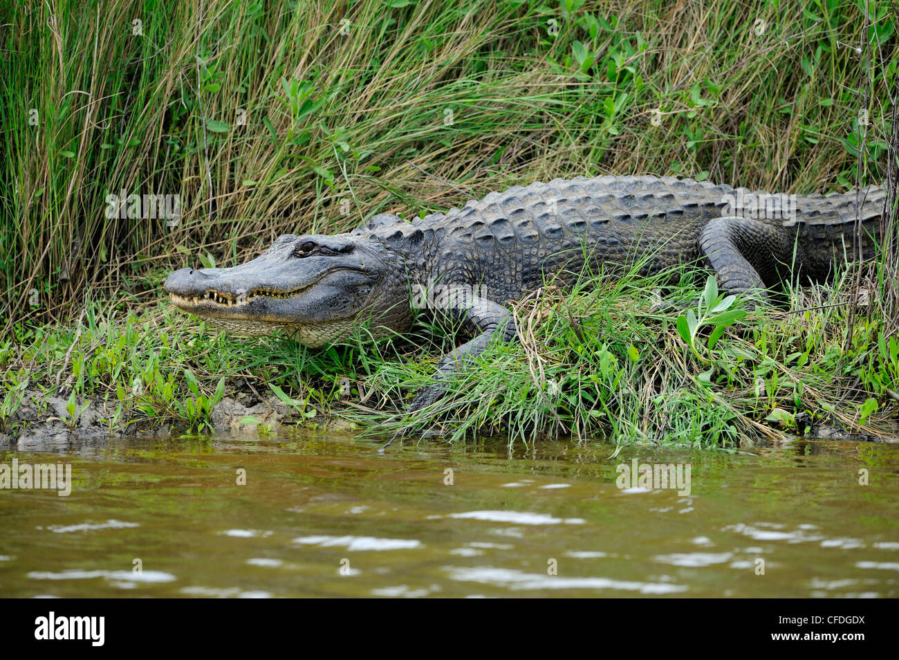 Alligator at Brazos Bend State Park, Texas, United States of America - Stock Image