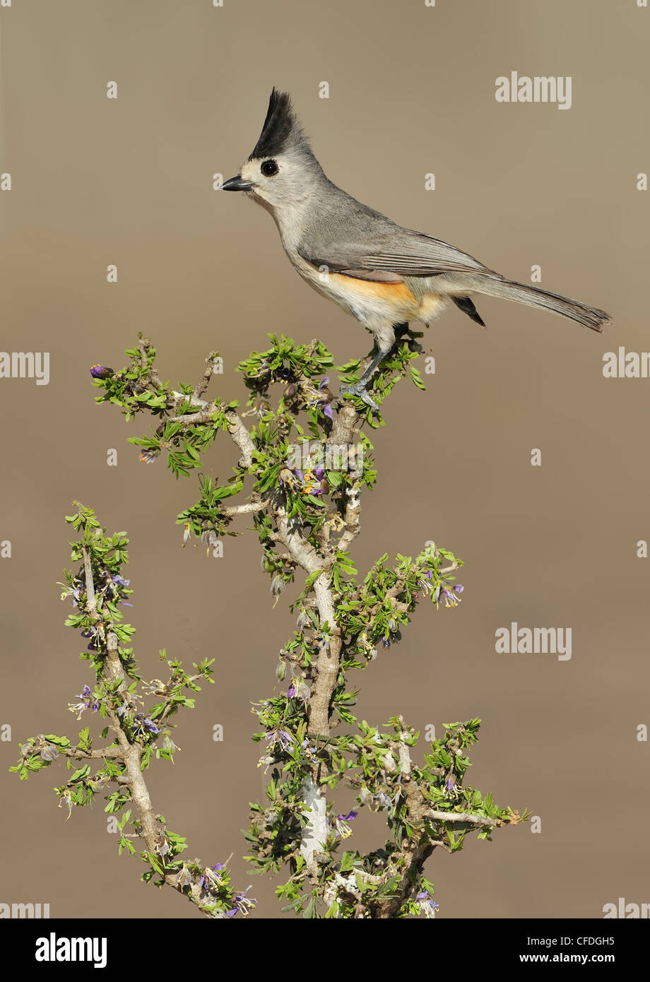 Black-crested Titmouse (Baeolophus atricristatus) - Santa Clara Ranch, Texas, United States of America - Stock Image