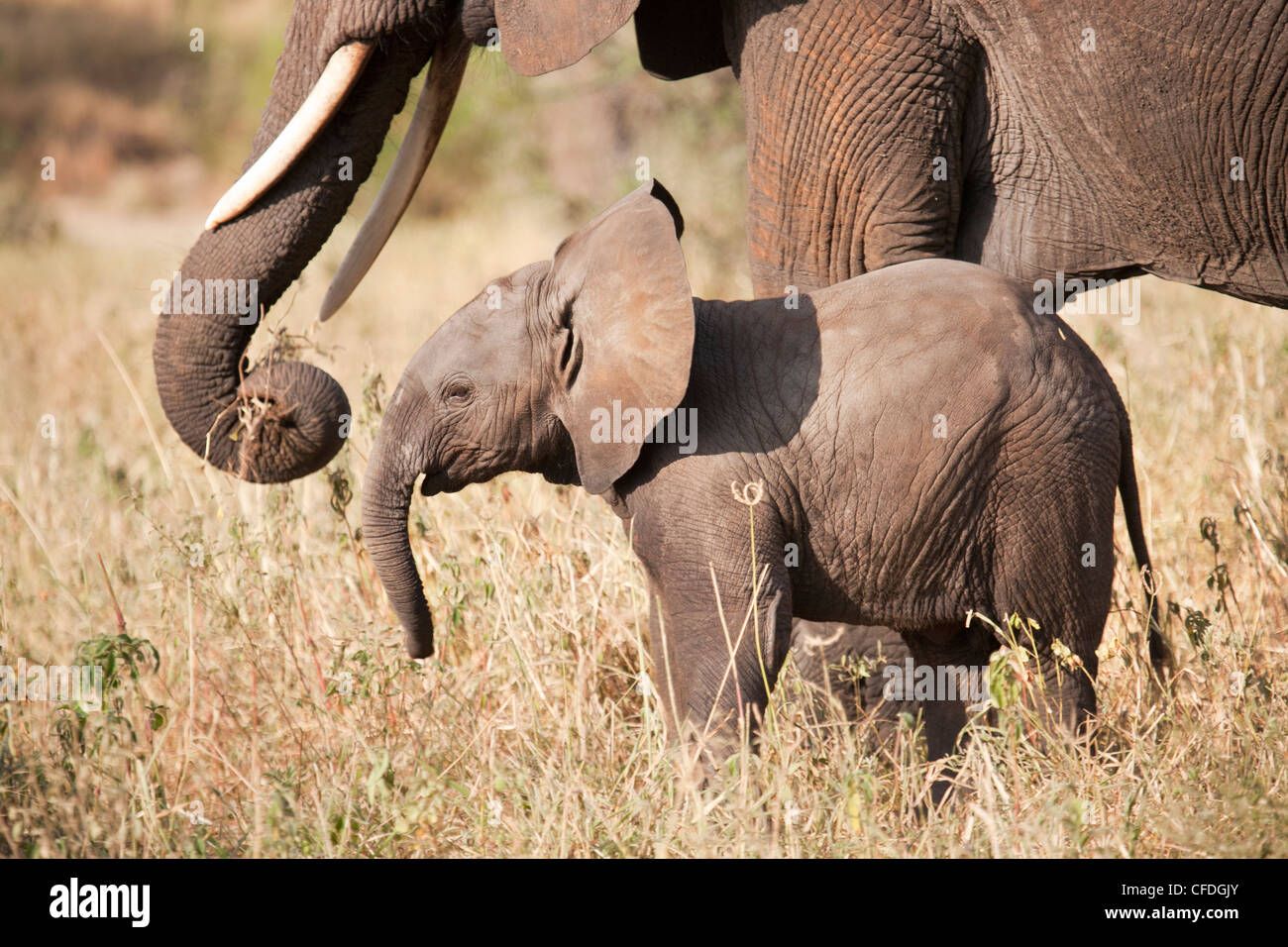 Elephant and calf in Tarangire Reserve of Tanzania - Stock Image