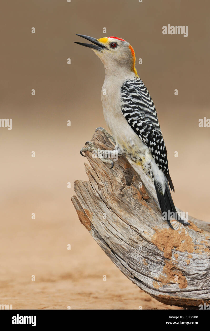 Golden-fronted Woodpecker (Melanerpes aurifrons) - Santa Clara Ranch, Texas, United States of America Stock Photo
