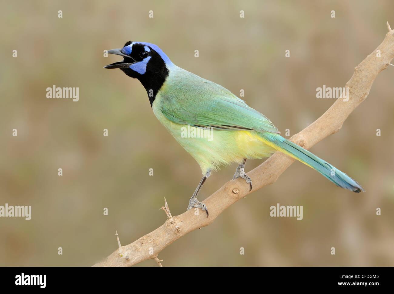 Green Jay (Cyanocorax yncas) - Santa Clara Ranch, Texas, United States of America - Stock Image
