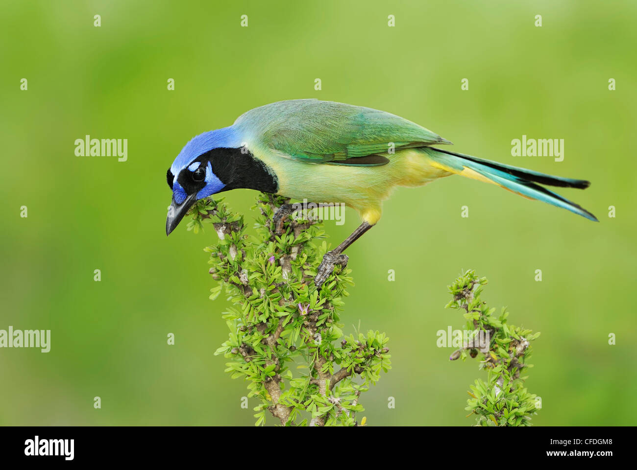 Green Jay (Cyanocorax yncas) - Santa Clara Ranch, Texas, United States of America - Stock Image
