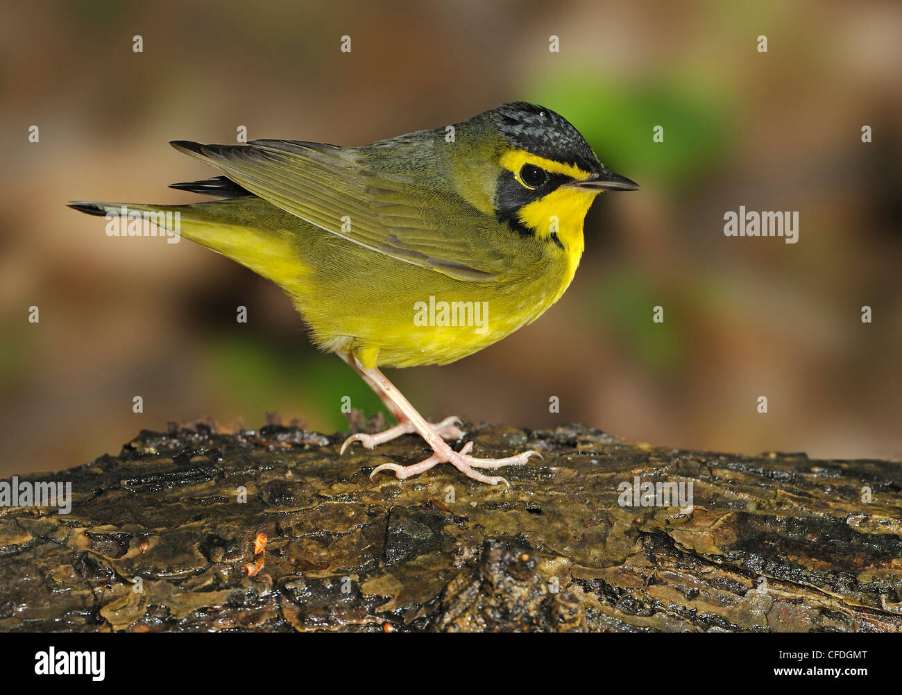 Kentucky Warbler (Oporornis formosus) at water drip High Island, Texas, United States of America - Stock Image