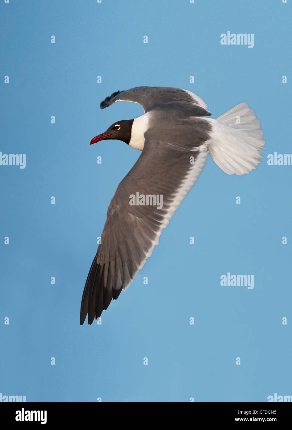 Laughing Gull (Larus atricilla) - South Padre Island, Texas, United States of America - Stock Image
