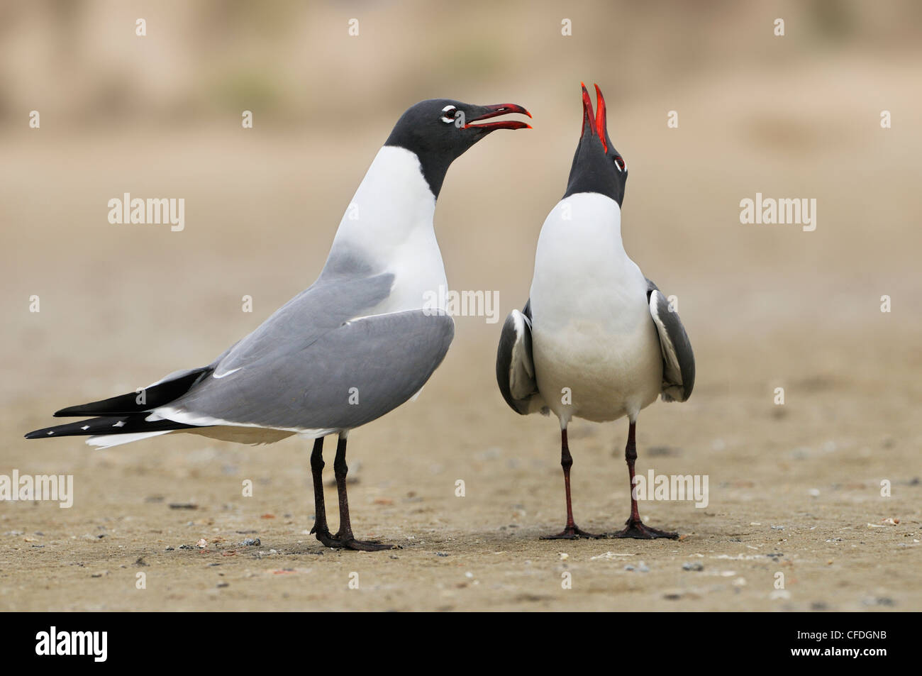 Laughing Gulls (Larus atricilla) - South Padre Island, Texas, United States of America - Stock Image