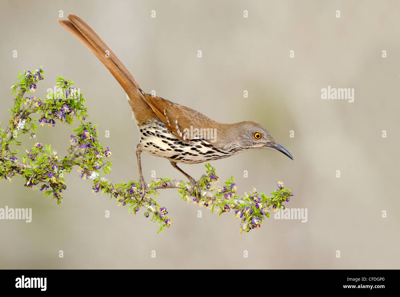 Long-billed Thrasher (Toxostoma longirostre) - Santa Clara Ranch, Texas, United States of America - Stock Image