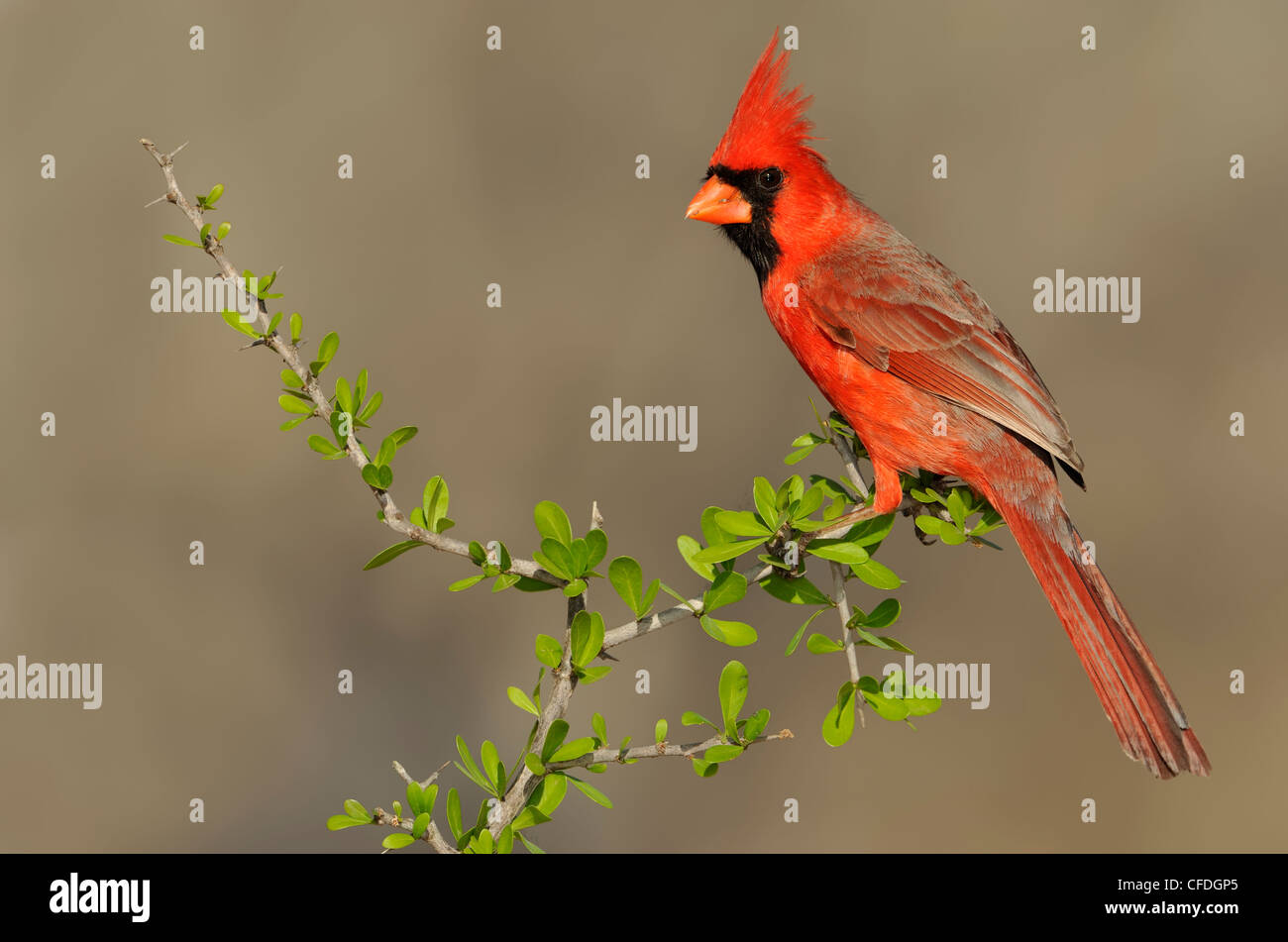 Northern Cardinal (Cardinalis cardinalis) - Santa Clara Ranch, Texas, United States of America - Stock Image