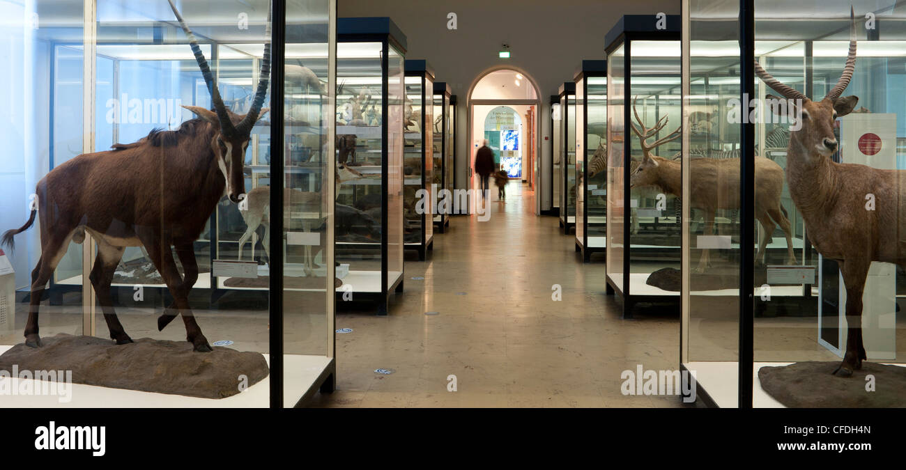 Senckenberg-Museum, view into the large mammal hall, Frankfurt am Main, Hesse, Germany, Europe - Stock Image