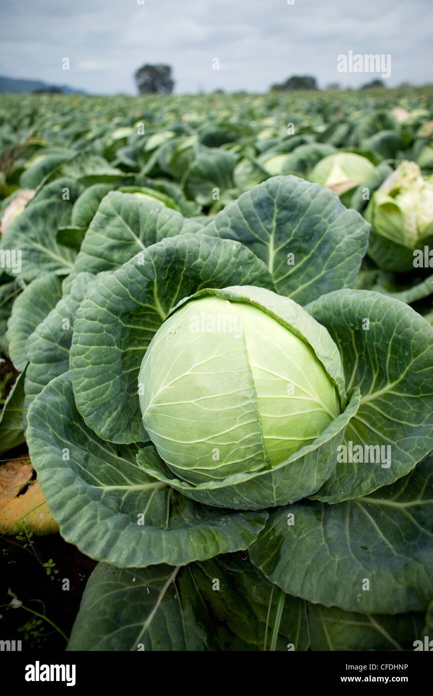 U-pic cabbage at a local farm. - Stock Image
