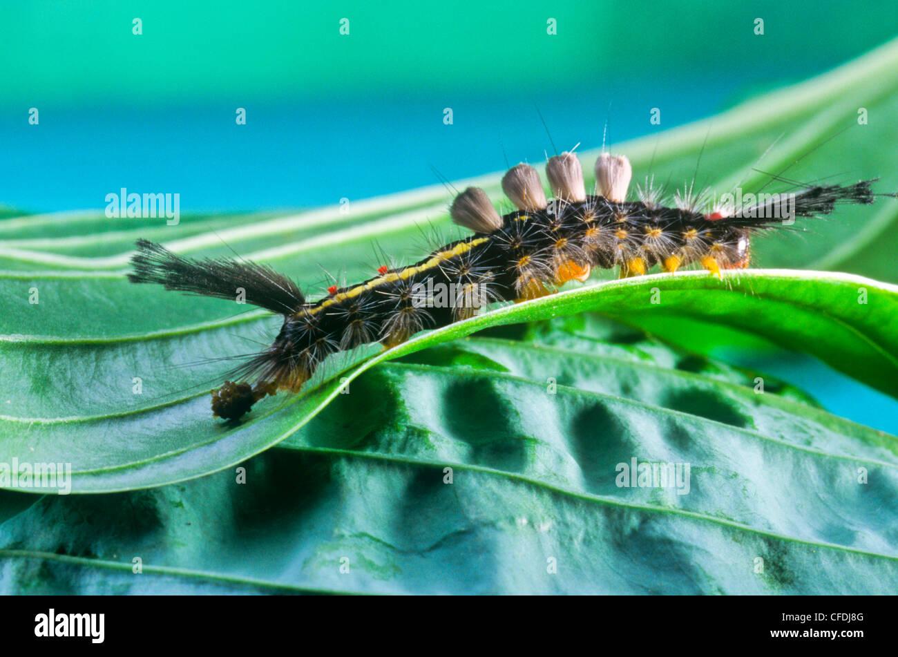 White-marked Tussock Moth larva, (Orgyia leucostigma), caterpillar - Stock Image