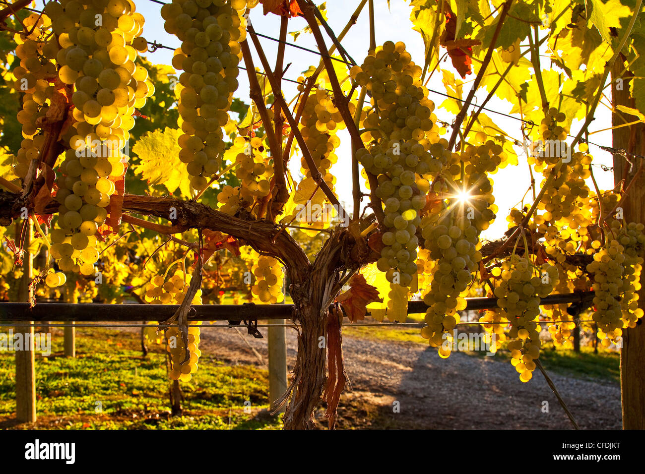 Riesling Grapes on vine at Arrowleaf Winery, Okanagan Valley, British Columbia, Canada. - Stock Image