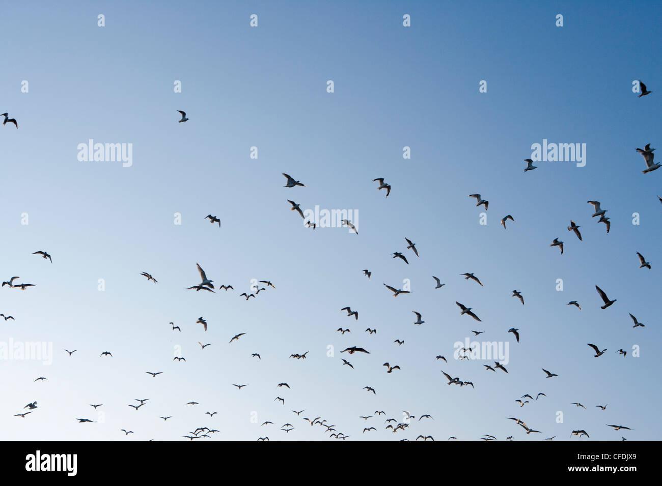Flock of seagulls, Klaipeda, Klaipedos, Lithuania - Stock Image