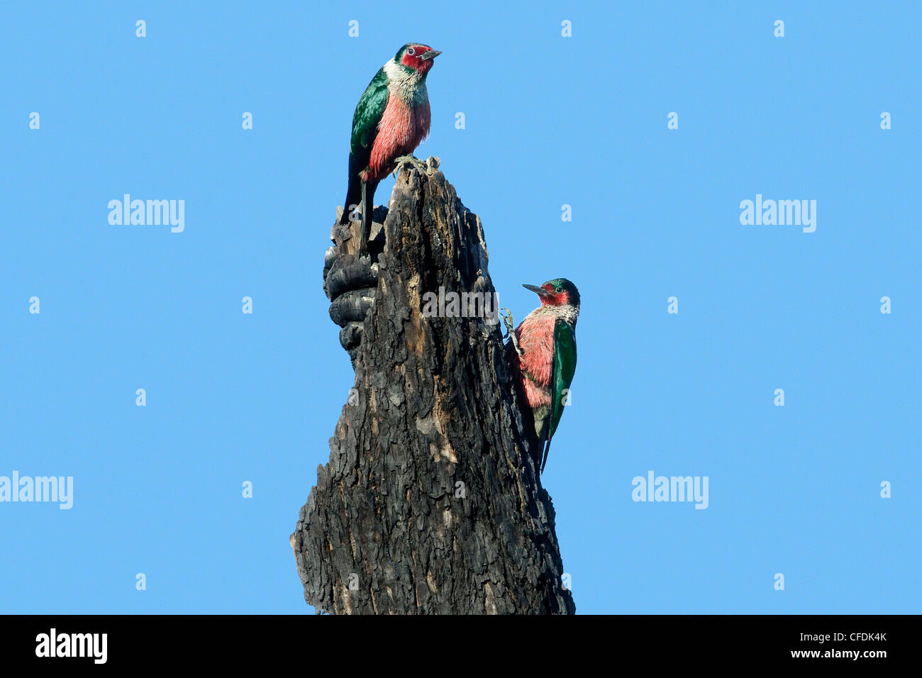 Lewis's woodpeckers (Melanerpes lewis), Okanagan Valley, southern Britsih Columbia, Canada - Stock Image