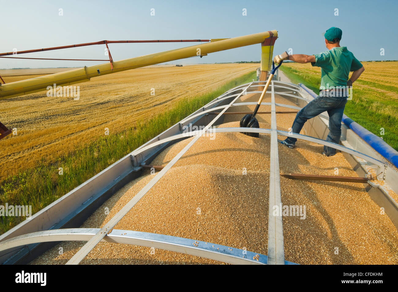 An auger loads wheat into a farm truck during the harvest, near Lorette, Manitoba, Canada - Stock Image