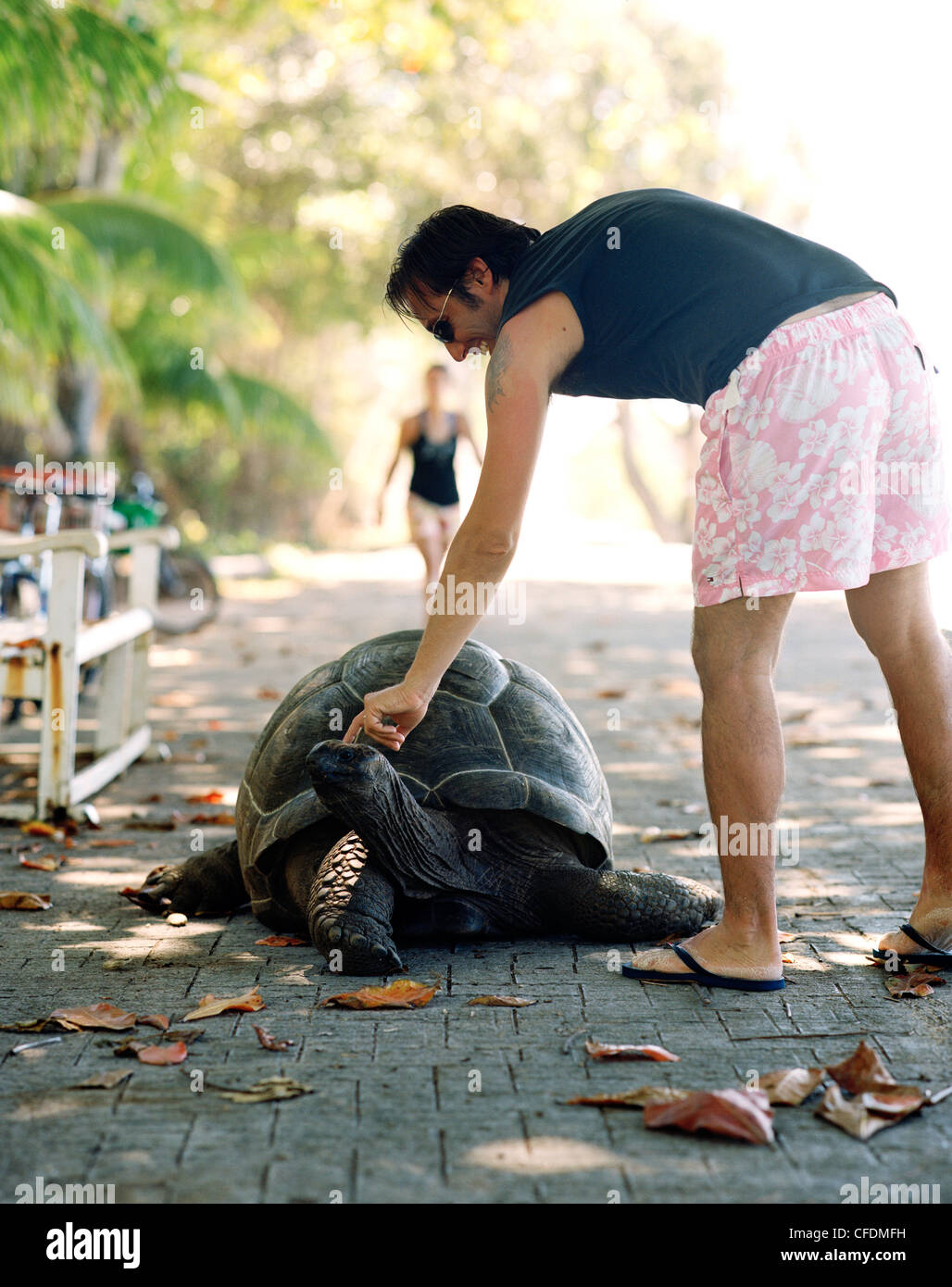 Tourist petting 28 year old turtle on the promenade at Anse Banane, eastern La Digue, La Digue and Inner Islands, - Stock Image