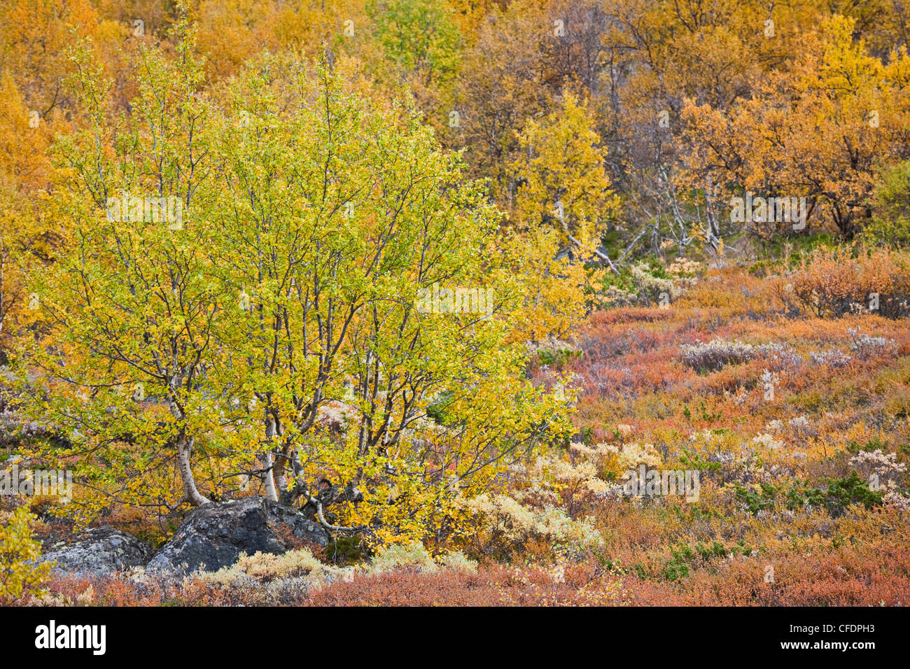 Autumnal trees at Jotunheimen National Park, Leirdalen, Norway, Europe - Stock Image