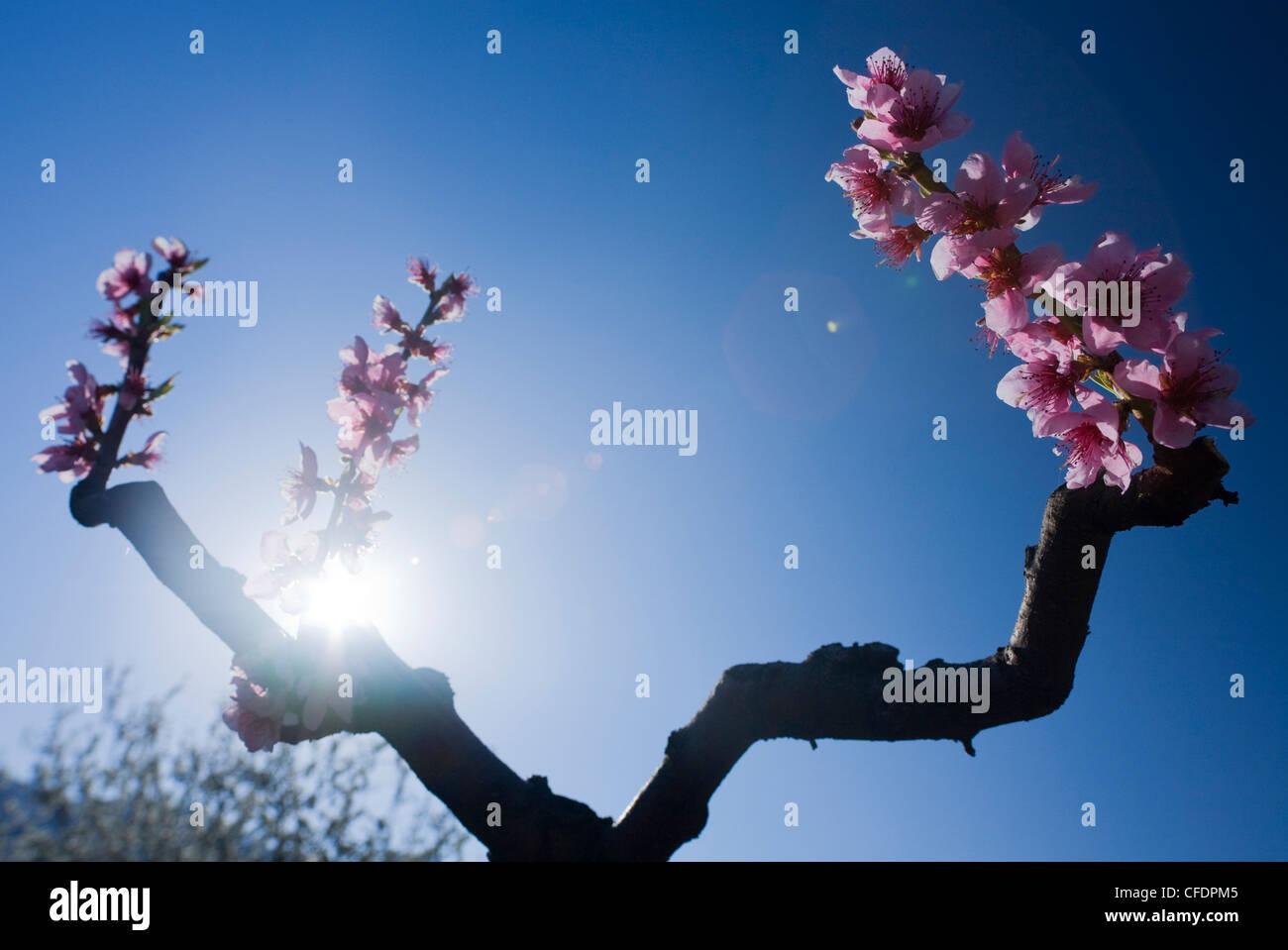 Blooming fruit tree in the sunlight, Wachau, Lower Austria, Austria, Europe - Stock Image